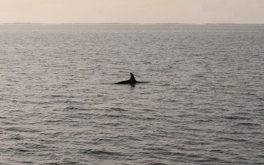 Orca in de Waddenzee