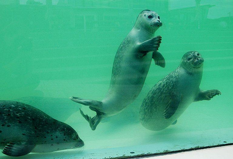 Jonge zeehond onder water bij Ecomare
