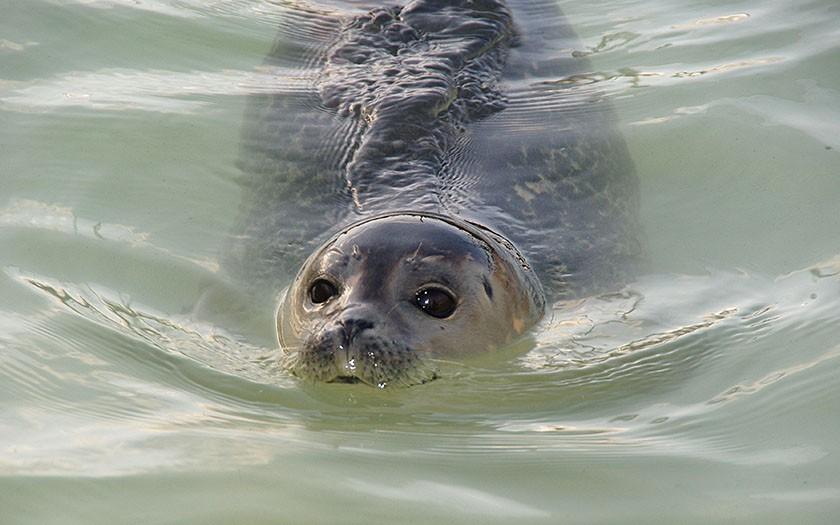 Gewone zeehond