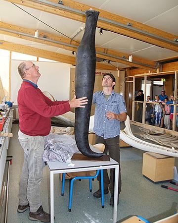 Ecomare-conservator Arthur Oosterbaan en preparateur Mickel van Leeuwen bij de replica