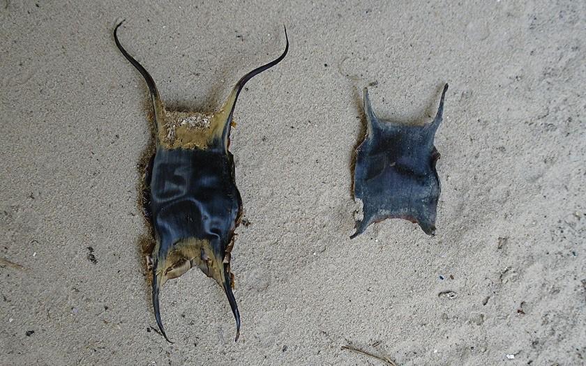 Twee eikapsels in het zand, een grote van de blonde rog en een kleine van de stekelrog