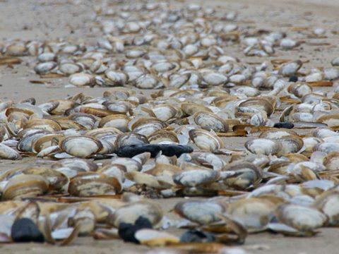 Aangespoelde otterschelpen op het strand