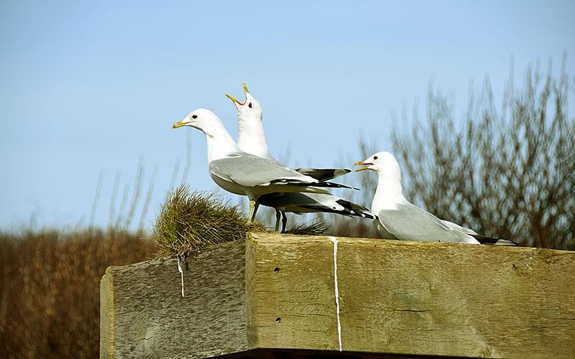 Stormmeeuwen op hun nestplaats bij Ecomare
