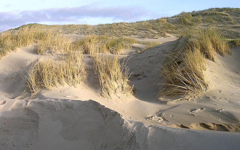 Duinen met helmgras (© Ecomare)