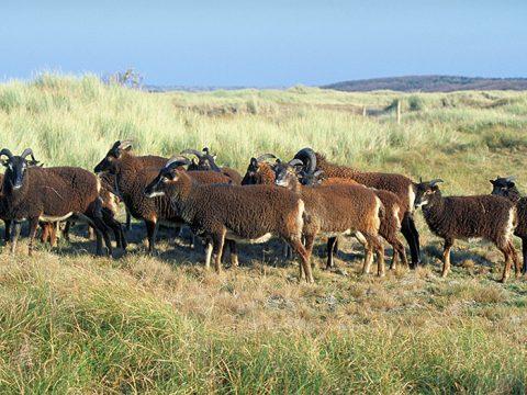 Soay-schapen in de Amelander Rosduinen. Foto: Johan Krol