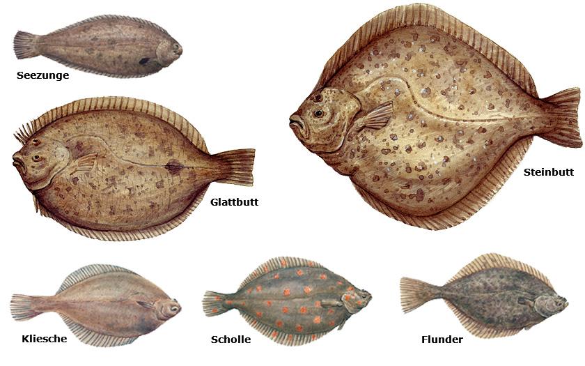 Collage von Plattfischarten (© Erik van Ommen)