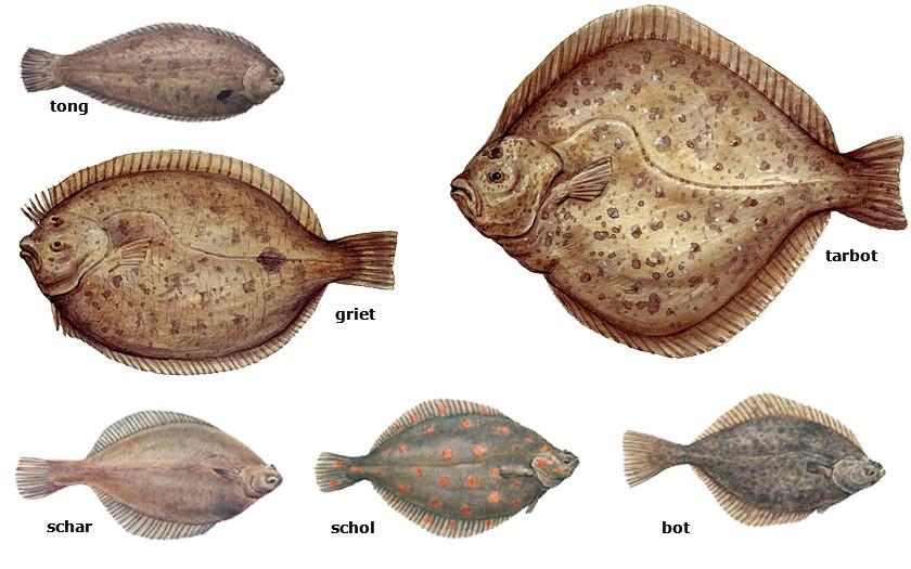 Collage van platvissoorten