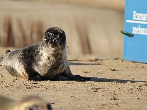 Grijze zeehond bobbert over het strand richting zee