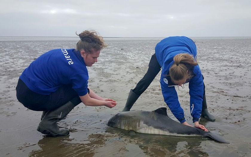 De dierverzorgsters van Ecomare bij de gestrande bruinvis bij de Schorren op Texel