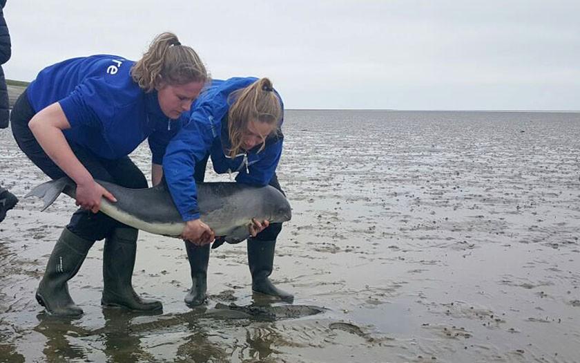 Gestrande bruinvis wordt door dierverzorgsters naar SOS Dolfijn gebracht
