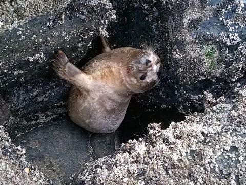 Zeehond Knorretje zit klem op de strekdam
