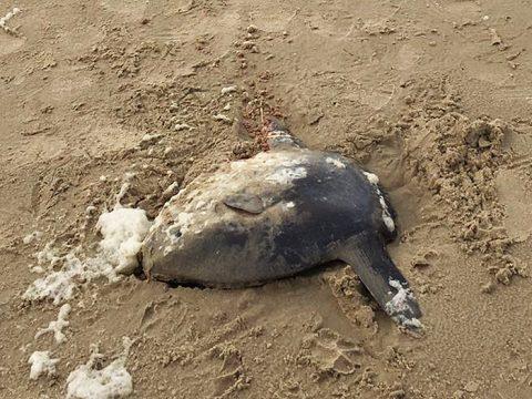 Dode maanvis op het strand