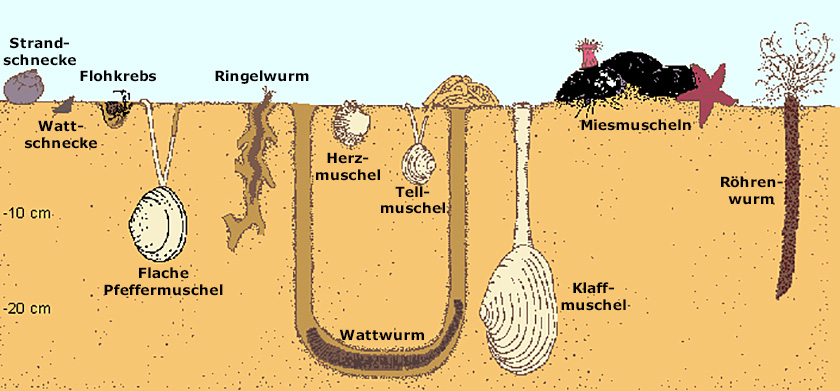 Zeichnung vom einem Querschnitt des Wattbodens (© Ecomare)
