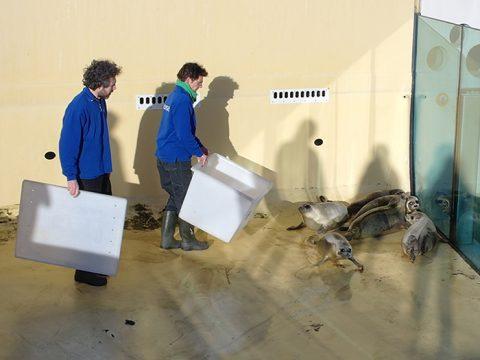 De zeehonden worden in een droog bassin gevangen