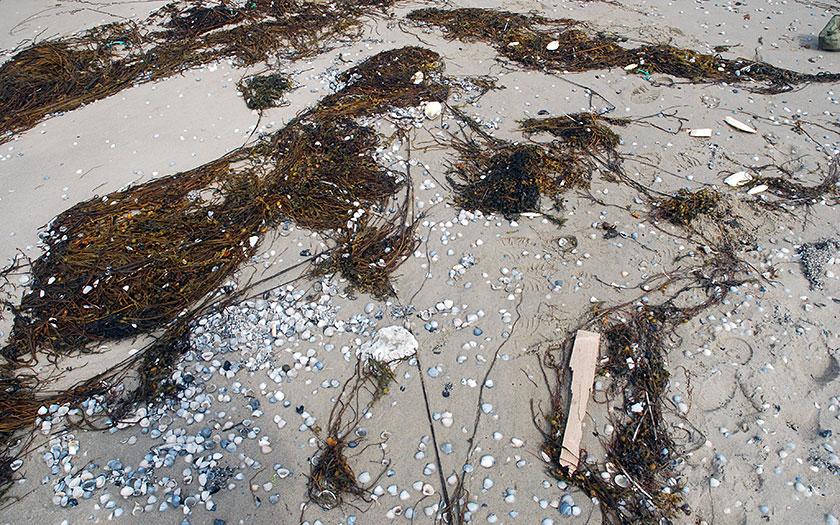 Vloedmerk, hier met riemwier, schelpen en hout. Foto Salko de Wolf.