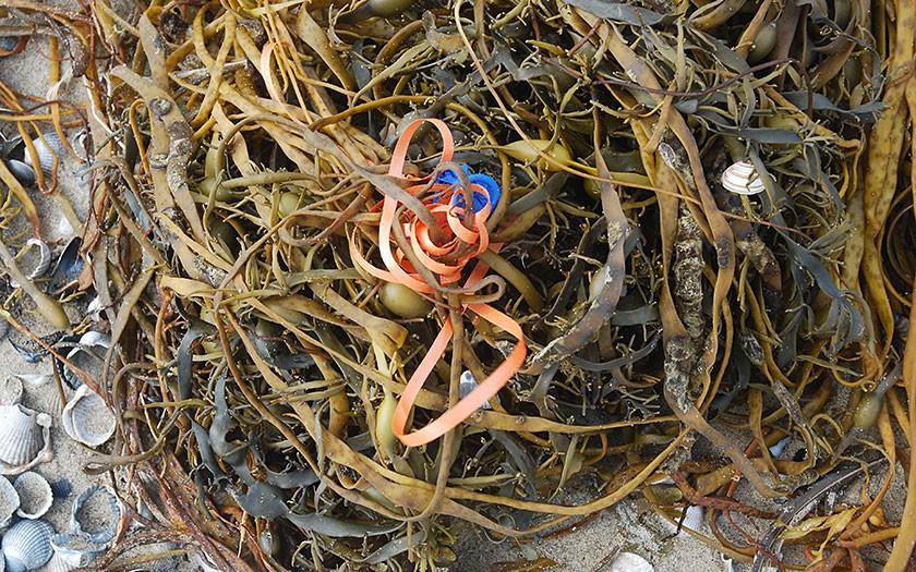 Aanspoelsel: riemwier, schelpen, ballonlint. Foto Salko de Wolf