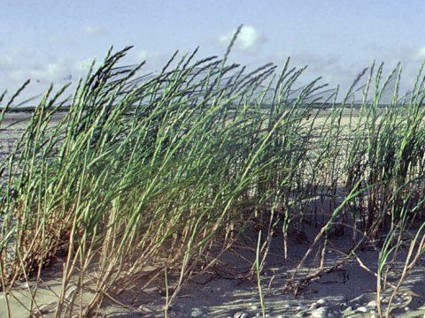 Biestarwegras op het strand