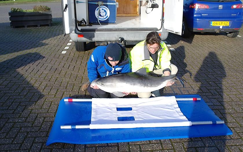 Gestrande bruinvis, de kleinste walvissoort, wordt aan SOS Dolfijn overgedragen (© Ecomare)