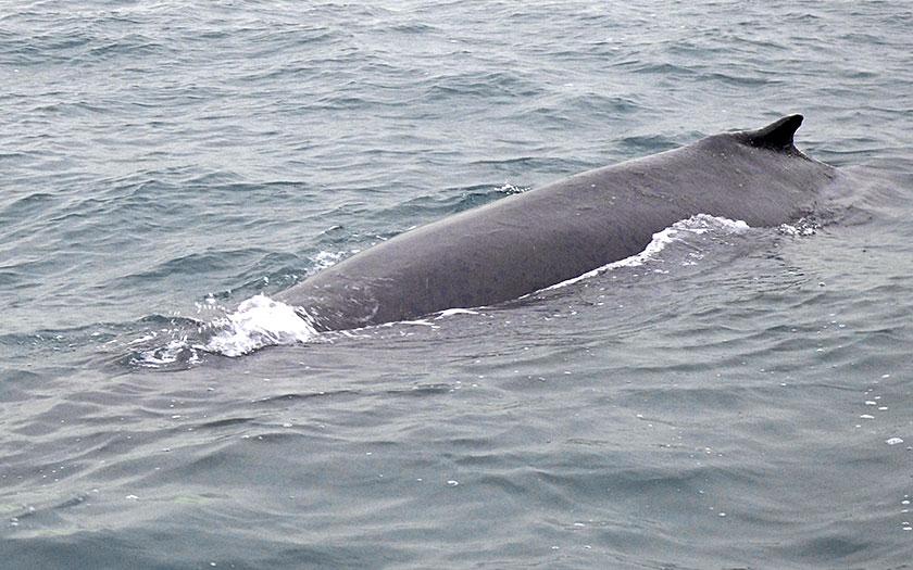 Bultrug, een walvis, in het Marsdiep bij Texel, 2009