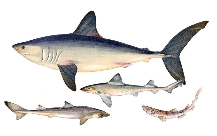 Collage van Noordzee haaiensoorten