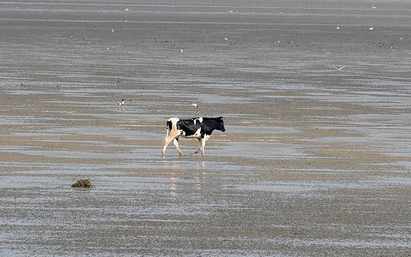 In 2014 probeelde een jonge koe van Texel naar Vlieland te lopen. De KNRM moest hen redden. Foto van Eckard Boot