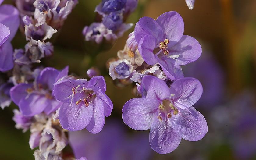 Detail-foto van een lamsoor bloem
