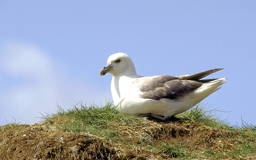 Stormvogel op nest (© www.fotofitis.nl)