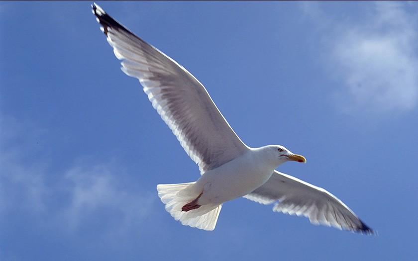 Vliegende zilvermeeuw (© Ecomare)