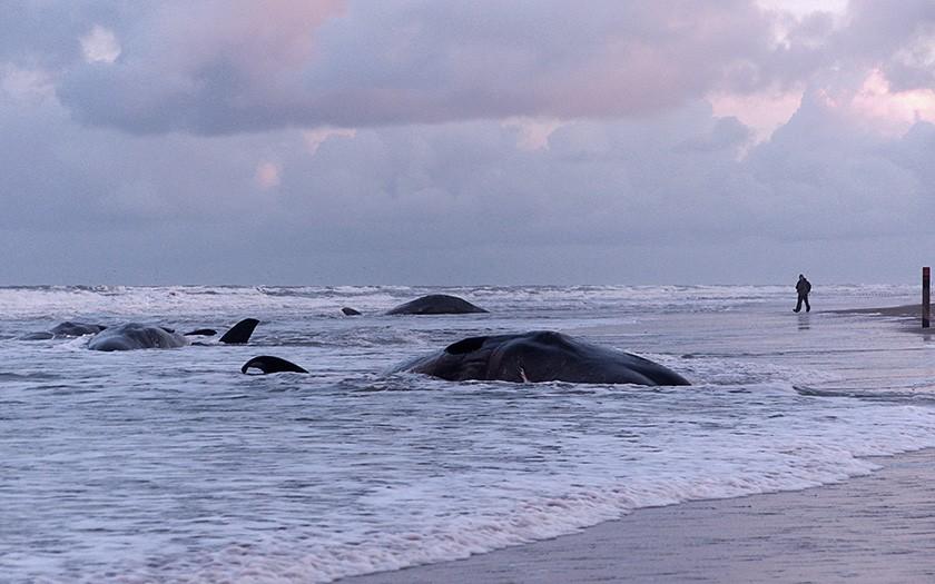 Potvisstranding op kust van Texel in 2016