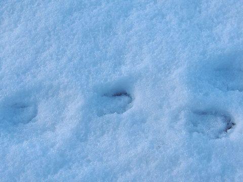 Sporen van een haas in de sneeuw