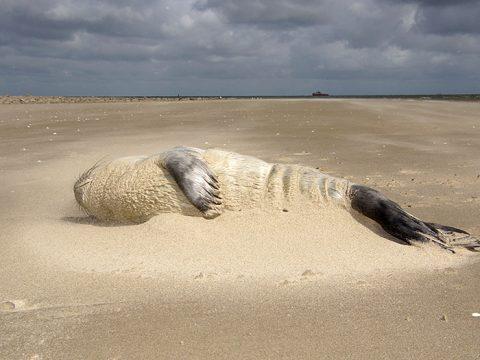 Ondergestoven zeehond op het strand
