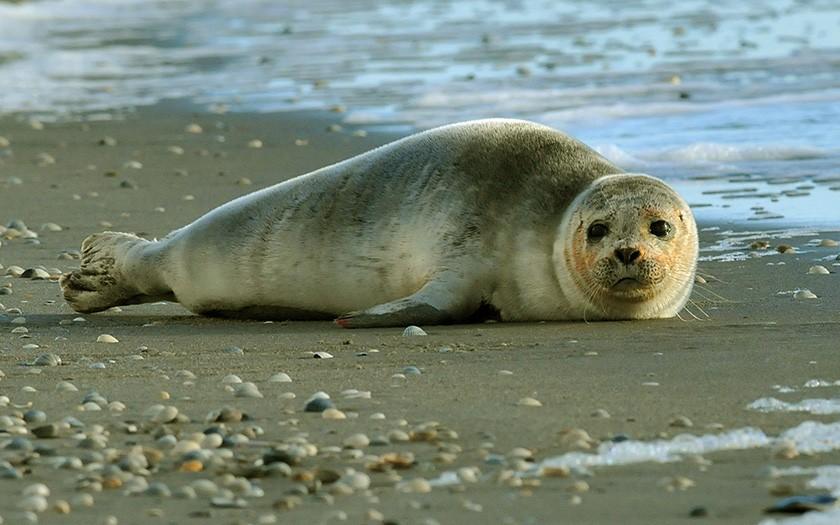 jonge gewone zeehond op het strand, foto ecomare