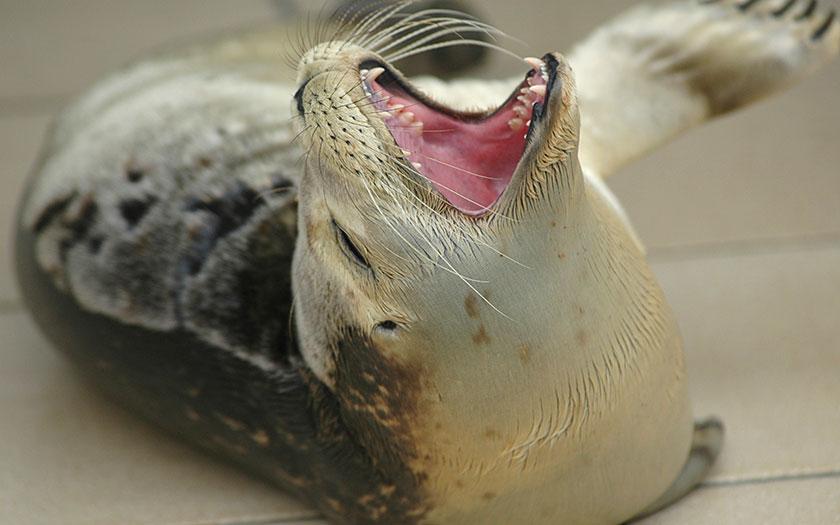 Zeehond laat zijn scherpe tanden zien