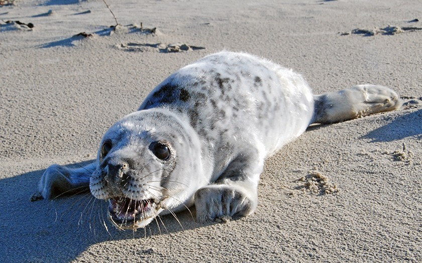 Jonge grijze zeehond op het strand