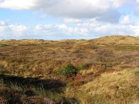 Heide in de duinen