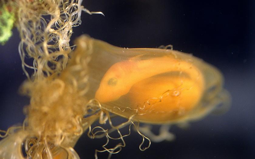 Hondshaai in eikapsel (© Ecomare)