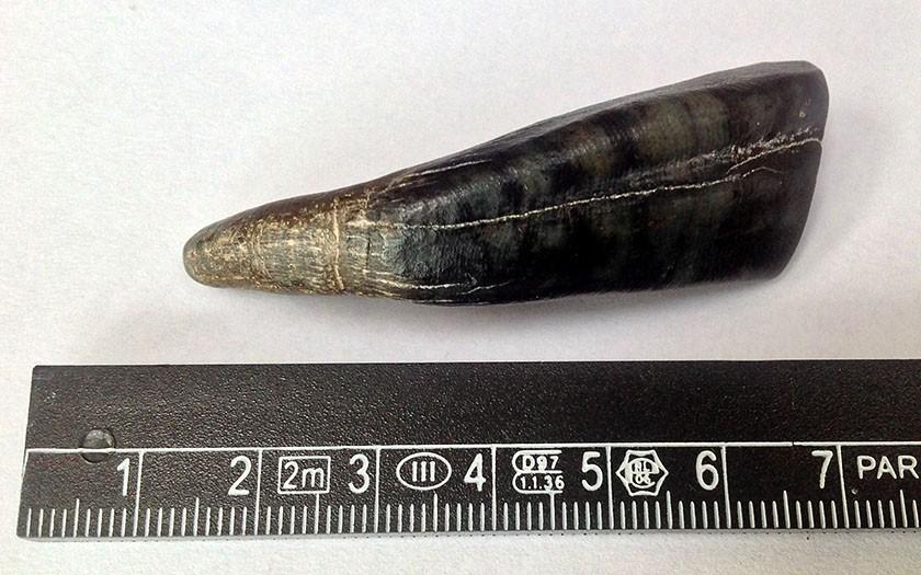 Fossiele tand van een paard met liniaal ernaast