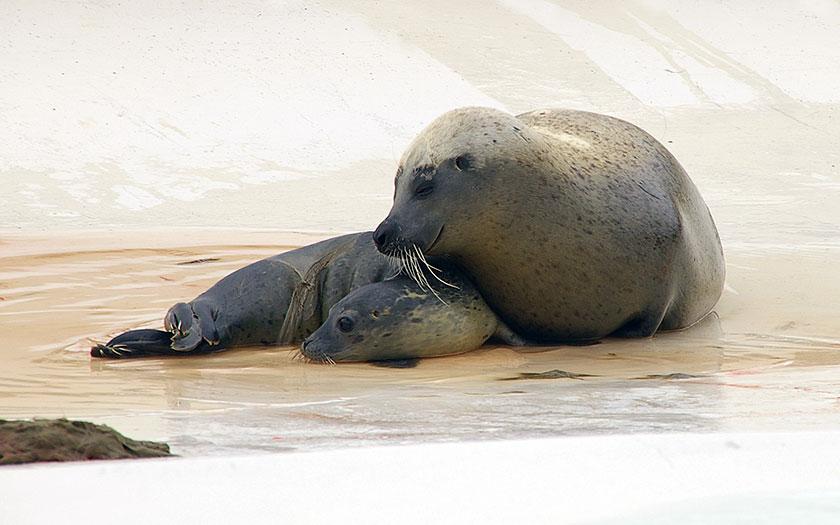 Jonge gewone zeehond, vlak na de geboorte (© Ecomare)