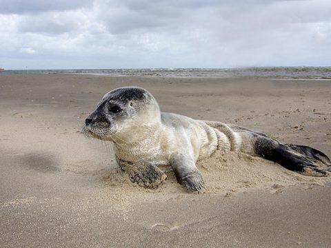 Huiler gewone zeehond op het strand