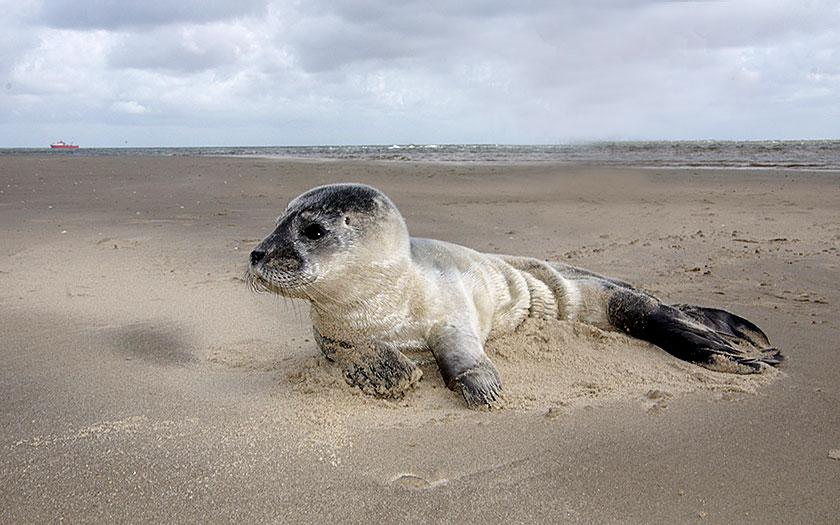 Heuler des Gemeinen Seehunds am Strand