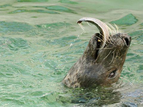 Grijze zeehond eet platvis