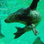 zeehond zwemmen onder water
