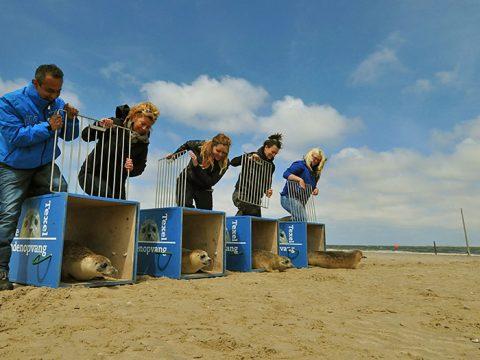 Zeehonden worden uitgezet door Ecomare