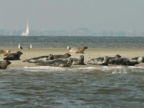 Gewone zeehonden op zandplaat