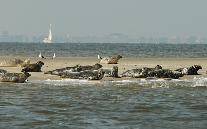 Gemeine Seehunde auf einer Sandplate (Foto Salko de Wolf)