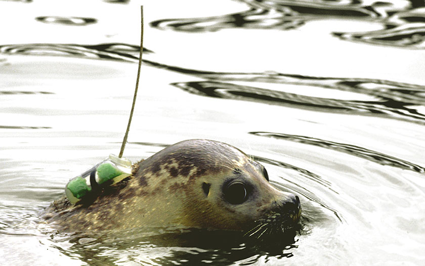 Seal with satellite transmitter (© Ecomare)