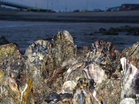 Japanse oesters in de veerhaven