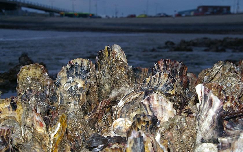 Japanse oesters in de veerhaven (© www.fotofitis.nl)