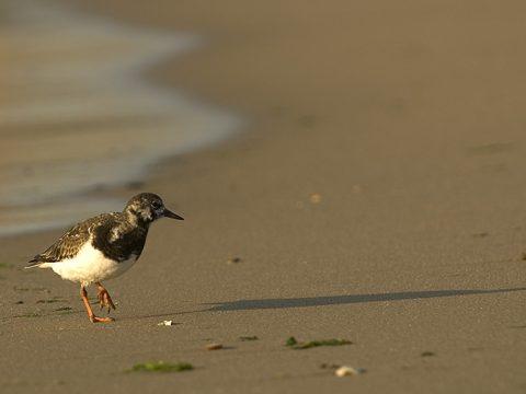 Steenloper op het strand