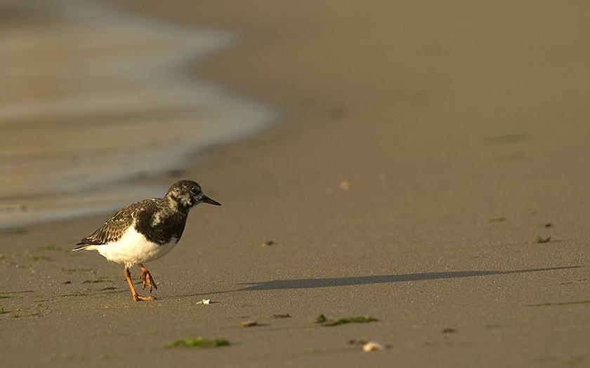 Turnstone on the beach